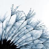 dewy dandelion close up - 68835153