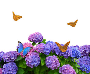 hydrangea with butterflies on white background
