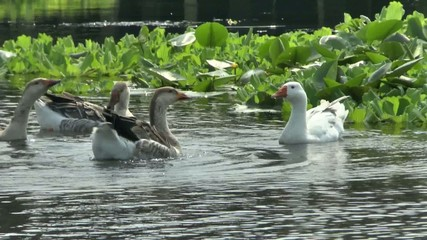 Geese on the River,