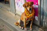 Kukur Tihar (worship of dog) in Tihar Deepawali festival