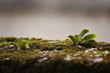 the parasite plant