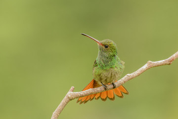 Rufous-tail Fan
