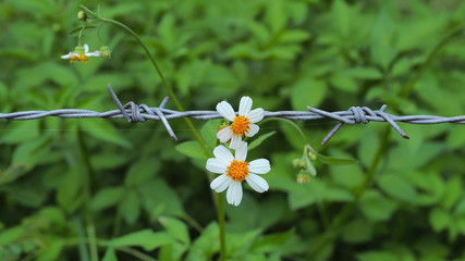White pedal flowers contrast with barbed wire
