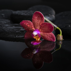 spa concept  of dark purple orchid (phalaenopsis), bud on zen st