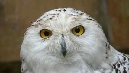 Snowy owl, a portrait