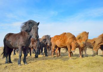 Icelandic free horses