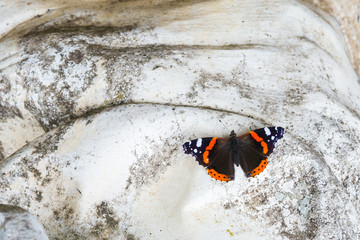 Red Admiral butterfly on white stone