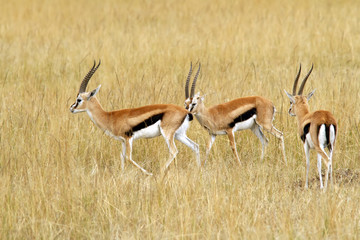 Thomson's Gazelles on the Masai Mara in Africa