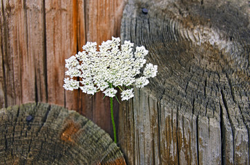 Queen Anne's Lace with logs