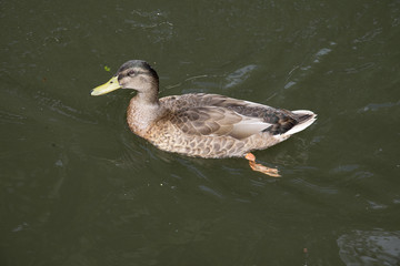 Female Mallard duck swimming