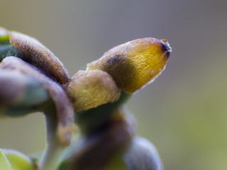 Sämling, Keimling der Kresse - Lepidium sativum