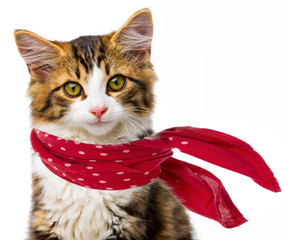 cute little long haired maine cat with red scarf