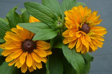 Dekorative Sommerblumen - Rudbeckien