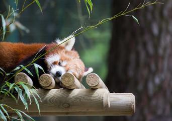 Panda roux de Chine