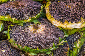 Sunflower with seeds for sale at farmers market. Poland.