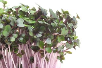 紫キャベツの新芽