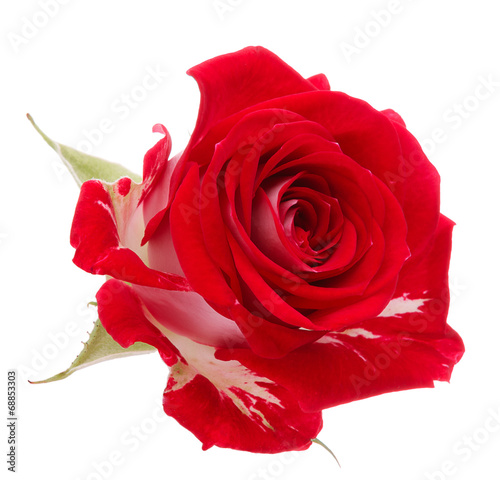 canvas print picture Red rose flower head isolated on white background cutout