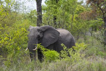 Elefant, Afrika