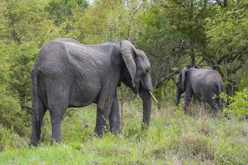 Wilde Elefanten, Afrika