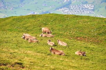 Kuhherde auf Alp