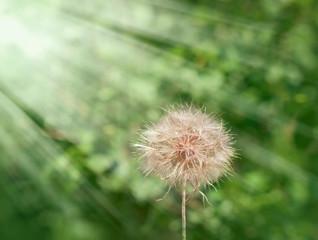 Dandelion - dandelion seeds