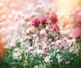 Flowering red clover in meadow