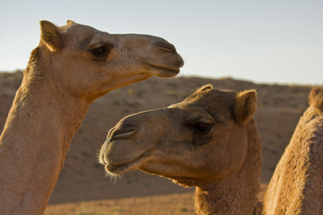 Two camels in the Wahiba sands desert in Oman.