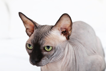 Beautiful gray sphinx cat on bed
