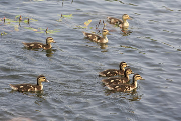 Funny little ducklings swim in the pond.