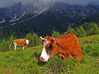 Vacche al pascolo al Rifugio Bajon (Domegge di Cadore)