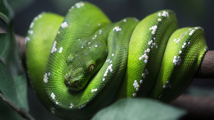 Green tree python snake on a branch