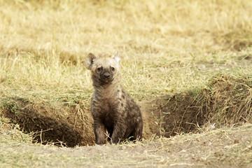 Baby Hyena on the Masai Mara in Africa