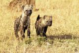 \Young Hyenas on the Masai Mara in Africa
