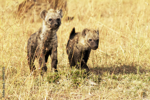 Poster Hyena \Young Hyenas on the Masai Mara in Africa