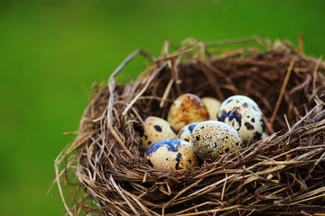 Quails Eggs in a nest