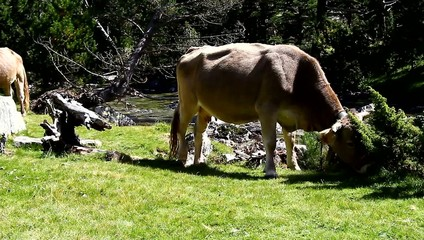 Cows grazing free in the high mountains of the Pyrenees