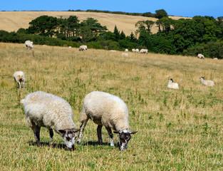 Pair of Grazing  Sheep