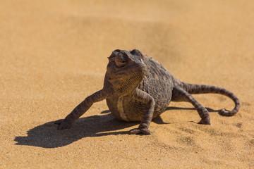 Namaqua Chamaeleon in the Namib Desert, Namibia