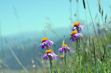 Pink asters among the grass on background of sky and mountains