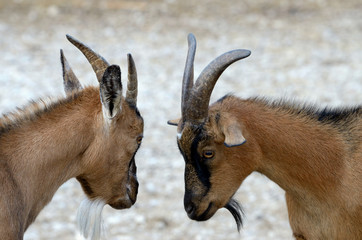 Domestic goat (Capra aegagrus)