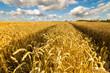 Obrazy na płótnie, fototapety, zdjęcia, fotoobrazy drukowane : Lato na polach-łany dojżałego zboża