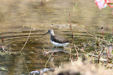 sandpiper bird in the swamp