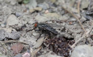 Meat fly on soil