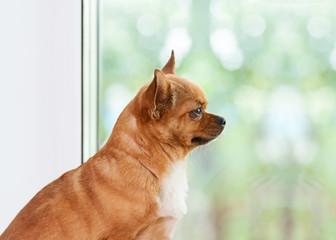 Red chihuahua dog near window.