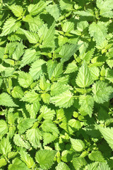 Thickets of lot green scalding nettles outdoor closeup