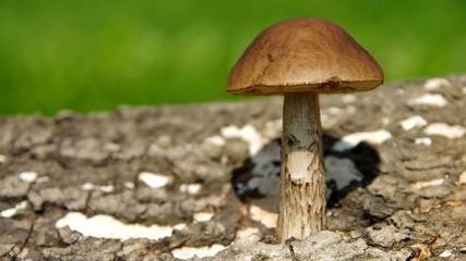 Leccinum mushroom