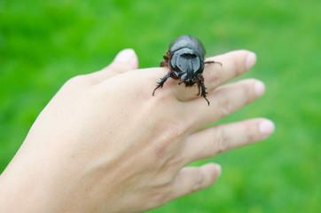 Scarab beetle on woman hand