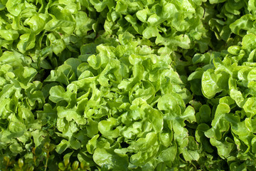Field of Green Frisee lettuce growing in rows