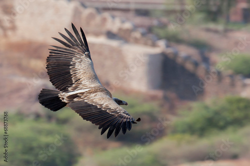 canvas print picture Greifvogel in Indien
