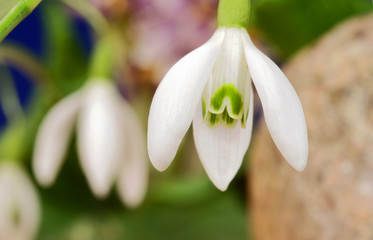 common snowdrop - small and white  flower in spring.